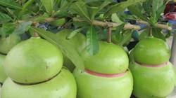 Đào tiên hồ lô tiền triệu mỗi trái vẫn đắt hàng