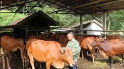 Ở đây trồng cỏ nuôi bò vỗ béo, cứ 1 con lời 2-3 triệu đồng/tháng