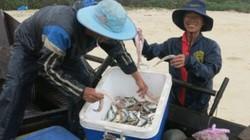 TT-Huế: Cá khoai bắt dài dài, mỗi ngày ngư dân kiềm 3-7 triệu đồng