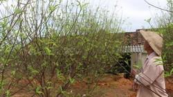 Hà Tĩnh: Đào Tết bung nở rực rỡ, người trồng lo sốt vó