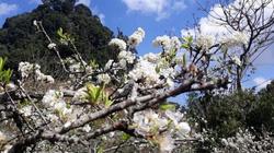 Chùm ảnh: Hoa mận nở trắng thung lũng Hang Kia - Pà Cò
