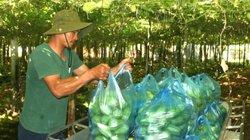 Nghệ An: Giá su su rớt thảm còn 500 đồng/kg, mỗi sào lỗ 10 triệu