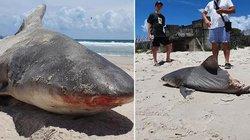 """Cá mập bị đứt nửa thân, du khách sốc vì tin do """"quái vật khủng hơn"""" xé xác"""