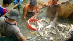 Giáp Tết dân ở đây dỡ chà tha hồ bắt nhiều cá sông ngon