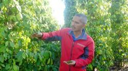 """Tìm lại """"vị ngọt"""" của hồ tiêu (bài 3): Liên kết trồng tiêu hữu cơ"""