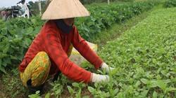 Đà Nẵng: Nông dân vùng rau an toàn nổi tiếng tất bật vào Tết