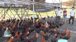 Vùng đất dân phát tài nhờ nuôi thứ gà bán hút hàng dịp Tết