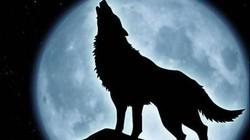 Tại sao chó sói - sát thủ rừng xanh hay hú vào ban đêm?