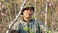 Cận Tết, đào rừng xù xì xuống phố, có gốc to bán hàng chục triệu