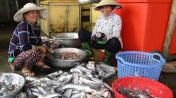 Đồng Tháp: Giá cá lóc tăng, làm khô cá vẫn tấp nập cả ngày lẫn đêm