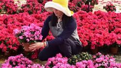 Hoa đỗ quyên Bỉ cánh kép, nhiều màu nhất thế giới đổ bộ Đà Lạt