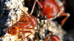 Loài côn trùng độc nhất thế giới có nọc độc mạnh gấp 20 lần loài ong