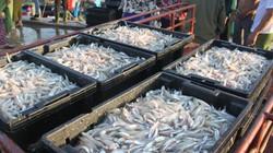 Đầu năm, ngư dân Hà Tĩnh trúng hàng trăm tấn cá cơm, bỏ túi 10 tỷ