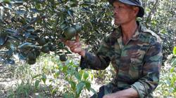 Trồng xen sầu riêng trong vườn cà phê, biến lỗ thành lãi trăm triệu