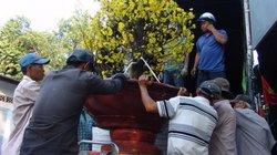 """Mai vàng """"khủng"""", bông lớn 10-24 cánh đổ bộ Hà Nội tiễn ông Táo"""
