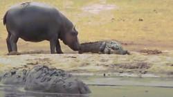 """Video: Cá sấu khổ sở vì bị hà mã con """"cà khịa"""" liên tục và cái kết khi kẻ thứ 3 tới"""