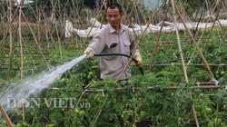 Giăng màn trồng cà chua Tết, trái xum xuê, bán 1 vụ rủng rỉnh tiền tiêu