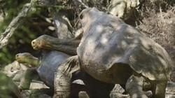 """""""Cụ"""" rùa 100 tuổi chăm chỉ giao phối, đẻ hơn 800 con để cứu giống nòi"""