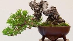 """Ít người biết đây chính là lý do khiến cây bonsai có giá """"trên trời"""""""