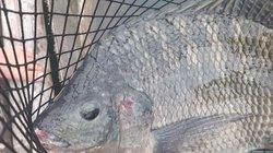 Clip: Nuôi cá rô phi khủng, Tết bắt lên bán giá gần 500 ngàn/con