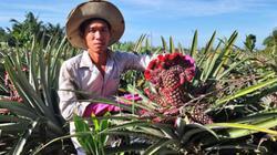 Vùng đất trồng khóm phụng, khóm son, bán 1 trái giá 200 ngàn