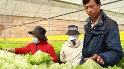 Lâm Đồng: Trồng bạt ngàn rau thủy canh bán cho Hàn Quốc, Big C