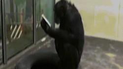 """Video: Tinh tinh sáng nào cũng ngồi chăm chú """"đọc"""" báo trong vườn thú"""