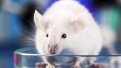 Tại sao hầu hết chuột thí nghiệm đều là con đực?