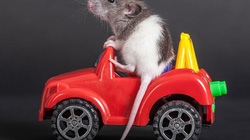 Lợi ích bất ngờ từ việc dạy chuột...lái xe