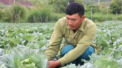 Dân Mộc Châu trồng thứ cải bắp to bự bán Tết, ai trông cũng thích