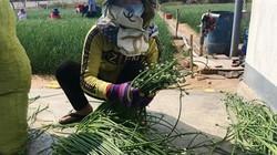 Ninh Thuận: Hoa gì nở trắng đồng thương lái nườm nượp tranh mua?