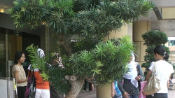 Loài cây vài năm không rụng lá, giá bán 5 triệu vẫn hút khách