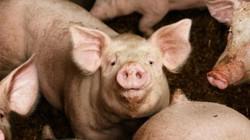 Ba Lan: Người đàn ông biến mất bí ẩn ở trang trại nuôi lợn, chỉ còn lại xương