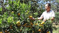 Trên trồng xen nhiều loại cây, dưới phủ lạc dại, dân ở đây lãi to