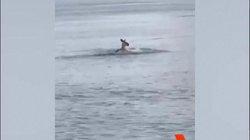 """Úc: Chó liều lĩnh đối đầu chuột túi khổng lồ, """"đối thủ"""" xuống nước vẫn đuổi theo"""