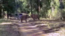 Video: Hổ kịch chiến giành lãnh thổ, du khách đứng xem cách vài mét