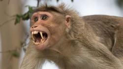 Ấn Độ: Khỉ hung dữ tấn công hơn 50 người, cả đội đặc nhiệm được cử đến đối phó