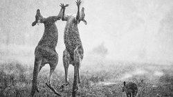 """Sự thật về bức ảnh """"chuột túi Úc ăn mừng mưa lớn dập cháy rừng"""" đang gây sốt"""