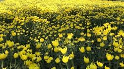 Hoa cúc 'siêu to khổng lồ' chỉ làm đúng 5 cặp, 16 triệu đồng/cặp