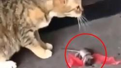 Chuột giả chết điêu luyện trước mặt mèo và những màn trốn thoát có 1-0-2