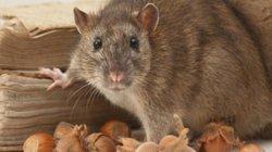 Khám phá những thông tin thú vị về loài chuột