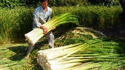 Loài cây trước coi là cỏ dại, nay giúp dân Cà Mau hốt bạc dịp Tết