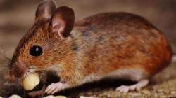Nhà hàng lẩu mất 190 triệu USD giá trị chỉ vì một con chuột