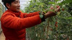 Đà Lạt: Trồng cà chua theo cách này bán siêu thị giá tới 30 ngàn/kg