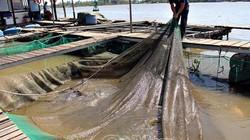 Nuôi 700 tấn cá thác lác, có cả cá hải tượng khổng lồ trên sông Hậu