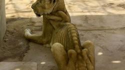 """Sư tử gầy thê thảm trong vườn thú """"ác mộng"""" ở Sudan"""