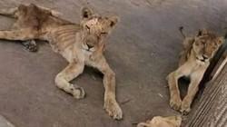 Sốc sư tử đói chỉ còn da bọc xương nằm chờ chết trong sở thú