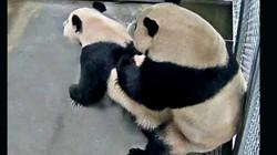 """Sở thú Hà Lan phát cảnh gấu trúc khổng lồ """"làm chuyện ấy"""" cho cả thế giới xem"""