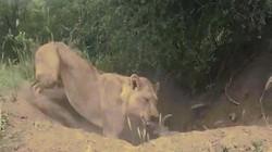 Video: Trốn trong hang tưởng thoát, lợn rừng vẫn bị sư tử lôi lên cắn chết