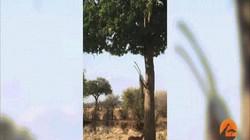Video: Báo hoa mai tung đòn bất ngờ từ trên cây, làm thịt linh dương